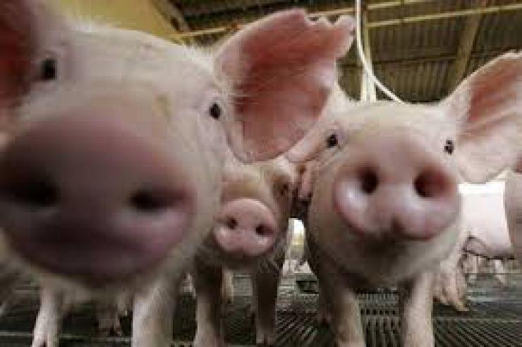 Primul focar de pestă porcină africană în România, confirmat în județul Satu Mare