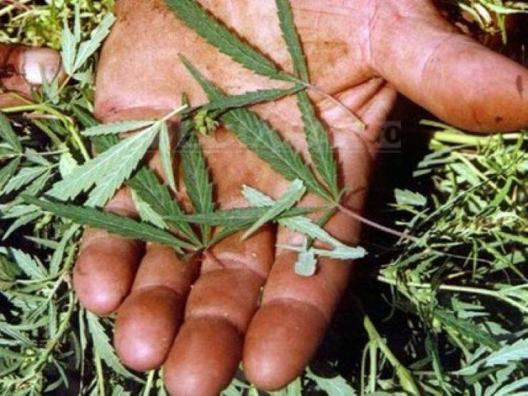 Cultură de cannabis, descoperită de polițiști în casa unui sătmărean