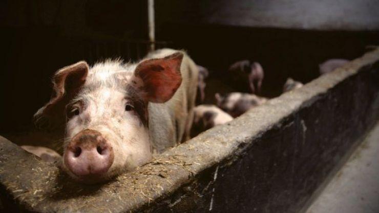 DSVSA | 15 focare de pestă porcină africană confirmate și alte trei suspiciuni în județul Satu Mare