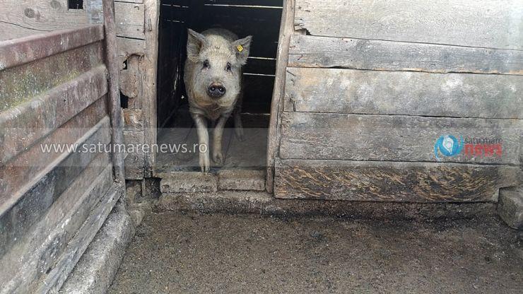 Au fost stinse 12 focare de pesta porcină în Satu Mare. Șase au rămas active