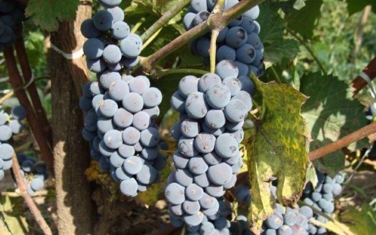 PROGRAMUL Festivalului viei și vinului de la Beltiug