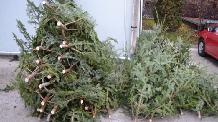 35 de brazi de Crăciun transportați fără documente de proveniență de către un sălăjean, confiscați de polițiștii din Tășnad