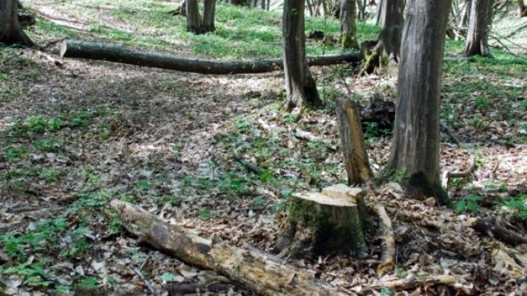 Hoțul de stejari din Pădurea Gelu, prins