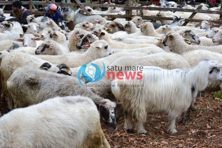 Urcatu' oilor la munte în Țara Oașului - Sâmbra oilor sau Alesul
