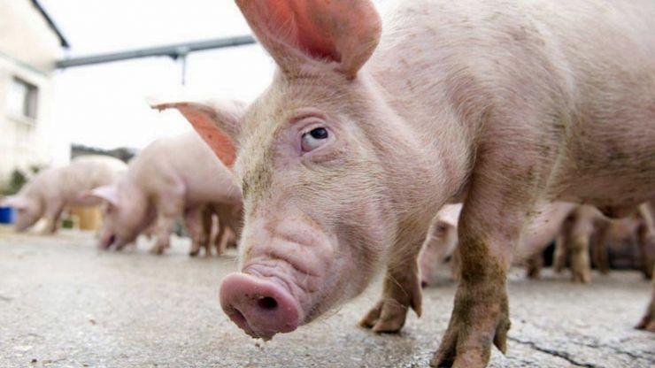 DSVSA Satu Mare: Patru noi cazuri de Pestă Porcină Africană confirmate în județul Satu Mare