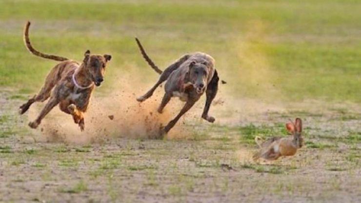 Prins în flagrant la vânătoare cu un câine din rasa ogar