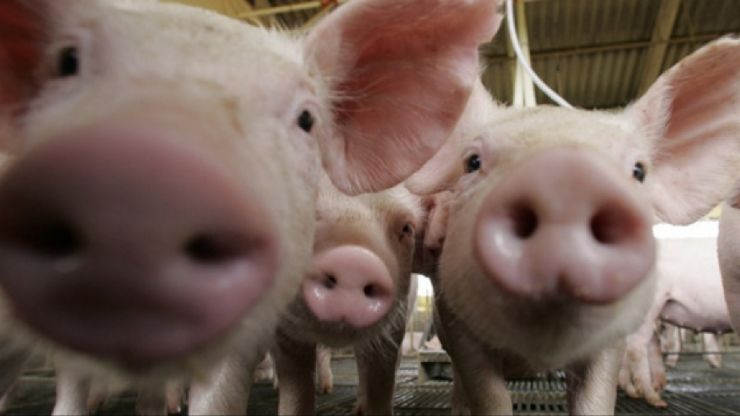 Crescător de porci din Căpleni, amendat de DSVSA Satu Mare