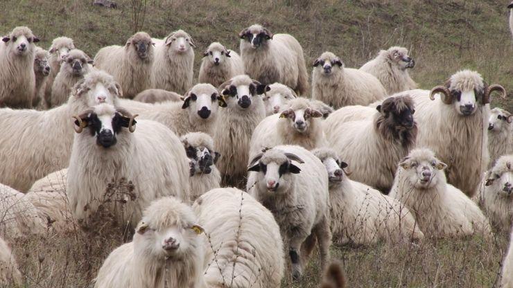 Un tânăr din Tășnad a furat oi