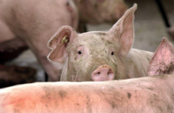 Alo, Prefectura? În Satu Mare s-a confirmat un focar de pestă porcină africană. Să stăm liniștiți?