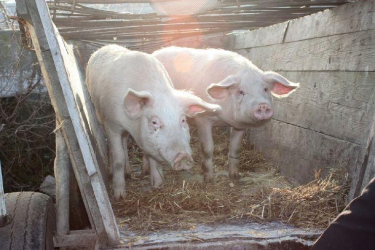 Doi tineri, prinși cu porcii furați în căruță