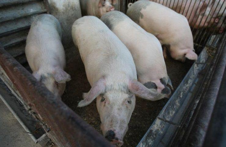 După 15 octombrie se sting toate focarele de pestă porcină africană din judeţul Satu Mare