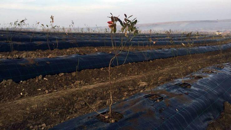 Investiție de peste 2 milioane de euro într-o plantație de afine în Homoroade